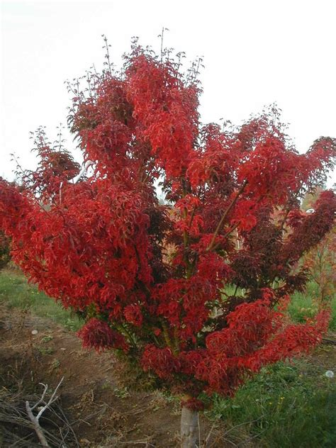 maples for all seasons acer p shishigashira the male lion s head japanese maple picture is of fall color size 2 is