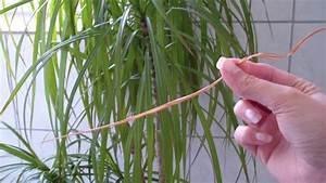 Drachenbaum Schneiden Video : video eine drachenpalme richtig pflegen ~ Watch28wear.com Haus und Dekorationen