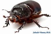 Coleoptera-Scarabaeidae-Strategus aloeus-Ox Beetles FEMALE ...