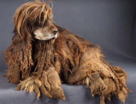 puppy mill dog engulfed  matted fur completely