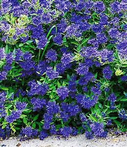 Blau Blühender Bodendecker : bl tenstr ucher sortiment 39 sommerfl bl hende str ucher bei baldur garten ~ Frokenaadalensverden.com Haus und Dekorationen