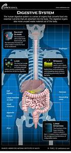 Simple Diagram Of Body Organs