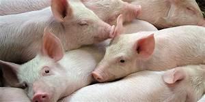 Scientists Revive Dead Pig Brains With  U0026 39 Artificial Blood