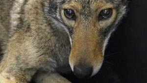 Coyotes, And, Other, Wild, Animals, To, Become, Increasing, Nyc