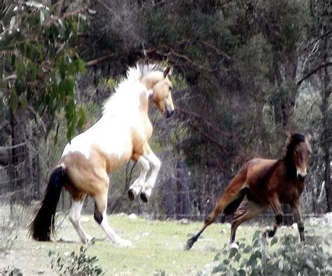 horses horse brumby brumbies wild australian australia stallion feral river snowy water cattle should abattoirs these uploaded user