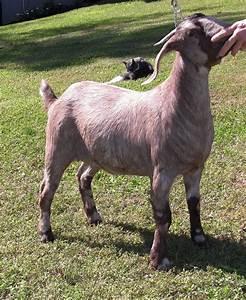 Colored Boer goat doe | Goats and Sheep | Pinterest