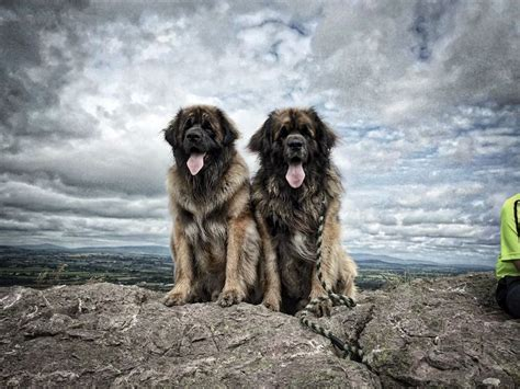 17+ Images About Leonberger Repined Pictures On Pinterest