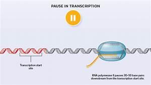 Rna Polymerase Diagram