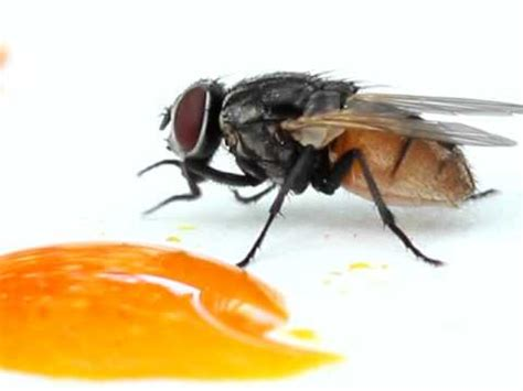 how does a house fly live house fly