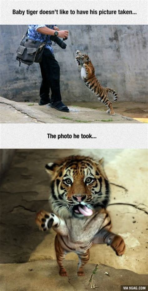 Tiger Mom Memes - 25 best ideas about baby tigers on pinterest tiger cubs cute tigers and small animals