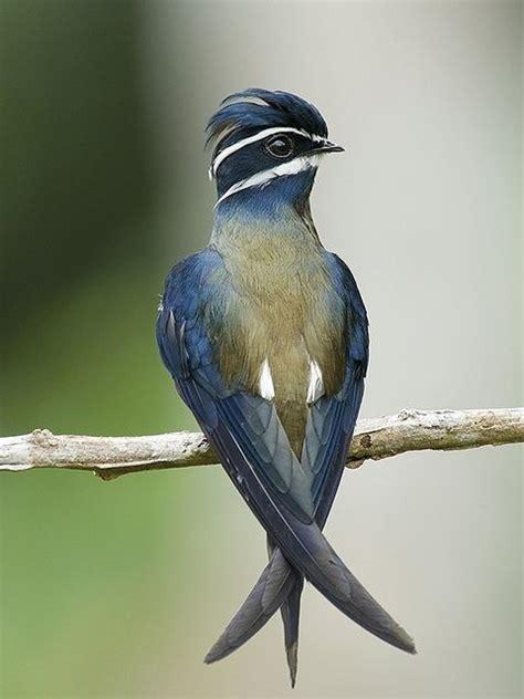 Whiskered Treeswift Bird