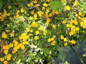 Bodendecker Gelb Blühend : 10 pfennigkraut bodendecker gelb bl hend dauer pflanze ebay ~ Frokenaadalensverden.com Haus und Dekorationen