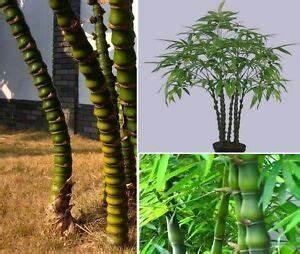Bambus Als Zimmerpflanze : budda bambus pflanzen f r drinnen den treppenflur zimmerpflanze zimmerpalme deko ebay ~ Eleganceandgraceweddings.com Haus und Dekorationen