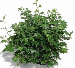 Kübelpflanzen Winterhart Schattig : hedera helix 39 jessica 39 efeu pflanzen versand f r die ~ Michelbontemps.com Haus und Dekorationen
