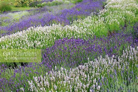 mass planting gap gardens mass planting of lavender including lavandula hidcote and l miss katherine