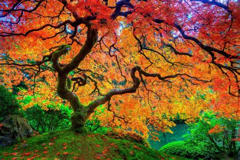 maple leaf tree japanese autumn season natural beauty hd