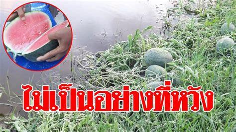 ขาดทุนย่อยยับ! เกษตรกรโอดพายุฝนถล่มสวนแตงโม เสียหายหนัก ...