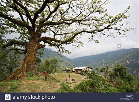 bodhi tree images bodhi tree remote village near the border with tibet in nepal stock photo 16098969 alamy