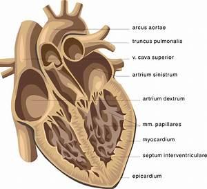 Heart Medical Diagram Clip Art Free Vector    4vector