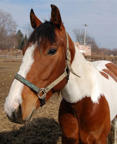 paint american horse horses breed friendly stables being thoroughbred breeds petguide