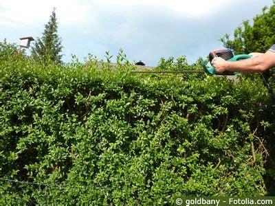 liguster pflege pflanzen duengen schnitt