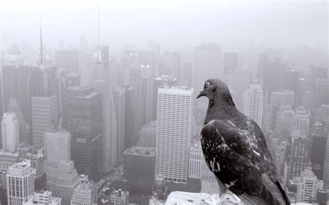 pigeon birds city wallpapers hd desktop  mobile