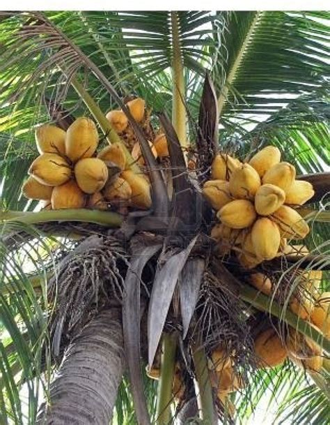 17 Best Images About Coconuts  On Pinterest Seychelles