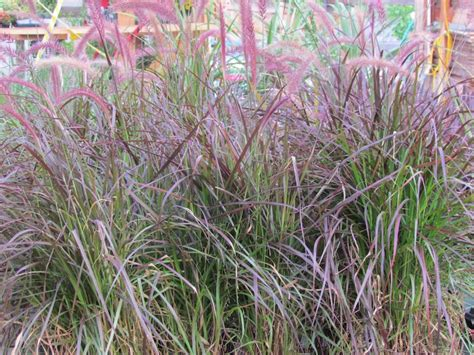 what ornamental grasses are perennials perennial and annual ornamental grasses