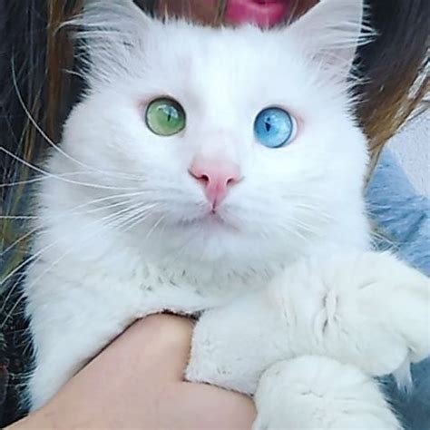 eyes cat colored heterochromia different cats odd eyed opens until looks he perfectly normal coloring cute eye called away katten