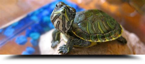 tartarughe alimentazione tartarughe acquatiche