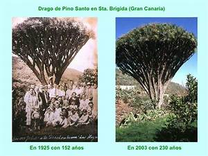 Edad De Los Dragos (Planta Milenaria)