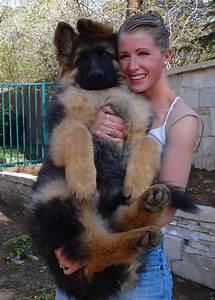 Giant German Shepherd baby! I love it :) #GSD # ...
