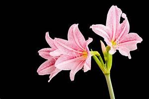 Wie Oft Blumen Gießen : amaryllis wie oft sollten sie den ritterstern gie en ~ Orissabook.com Haus und Dekorationen