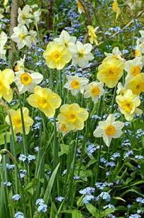 Spring Daffodil Garden
