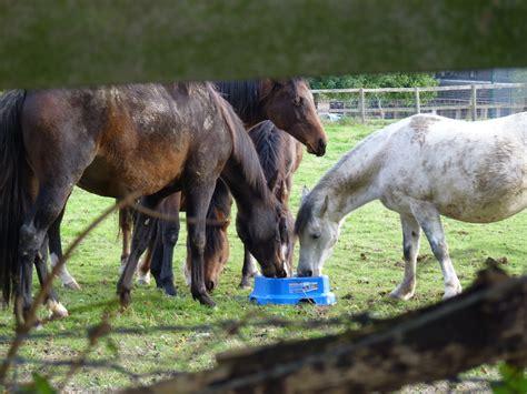 prone laminitis horslyx ponies horses
