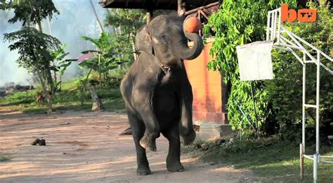 slam trunk elephants play basketball  koh samui