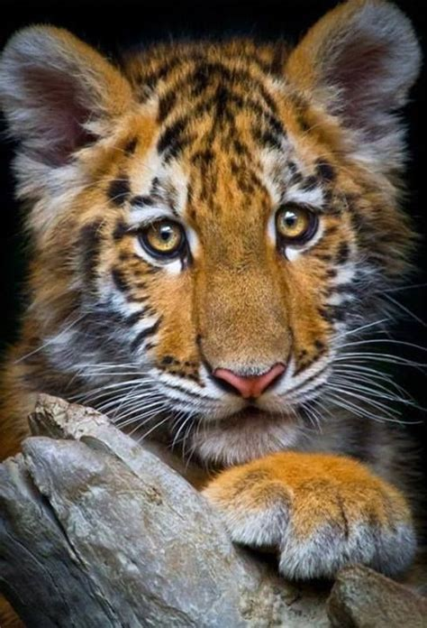 Tiger Beautiful Pinterest Tigers