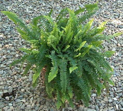 piante da vaso nephrolepsis felce nephrolepsis