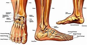 Upper Ankle Diagram