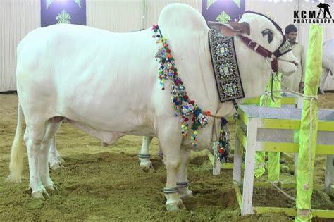 Karachi Cow Mandi 2020 New Pictures Photos Videos Lahore ...