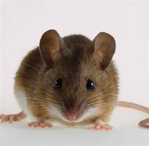 Wie Fängt Man Eine Maus : forschung gen tricks machen m use zu muskelprotzen welt ~ Markanthonyermac.com Haus und Dekorationen