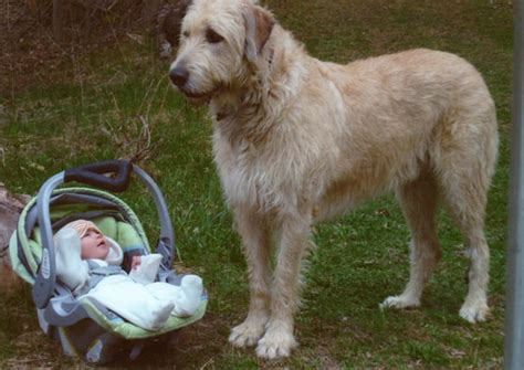wolfhound non shedding wolfhound clothes breeds picture