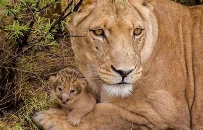 Lioness Cub Lion Lions вконтакте Telegram Desktop