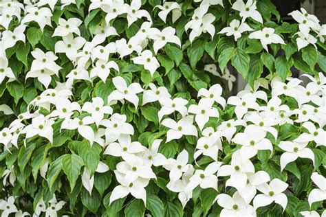 flowering dogwood tree facts dogwood tree facts
