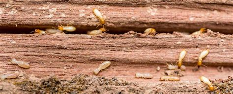 treating wood  prevent termites vulcan termite pest