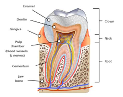 Diagram Of Part Of Human by Human Tooth
