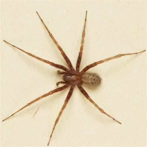 spider tegenaria domestica bugguidenet