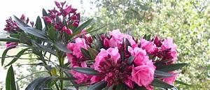 Oleander Im Winter : oleander ~ Orissabook.com Haus und Dekorationen