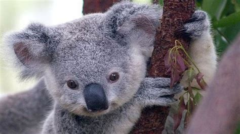 you can accidentally get an std from a koala