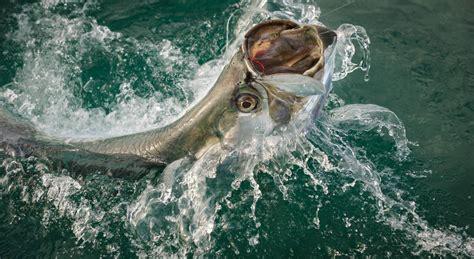 tarpon florida fishing fish water northwest coast boca reasons along why visit grande audette scott charter reeled jumps while being